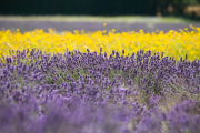 Lavender fields in East Hampshire